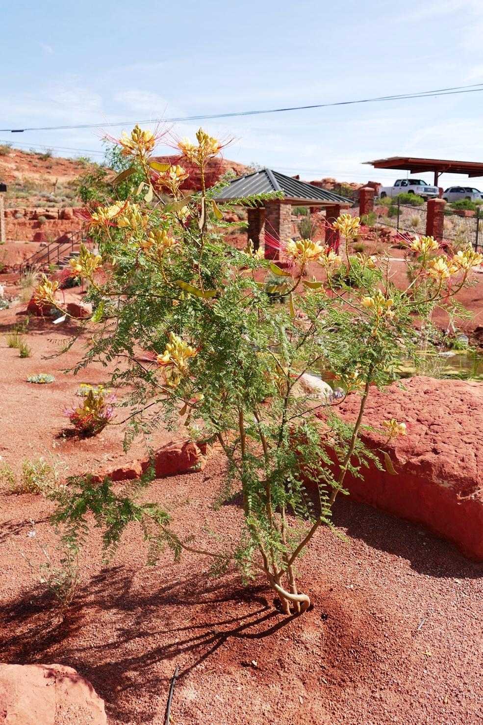 Yellow Bird of Paradise   Red Hills Desert GardenRed Hills Desert Garden