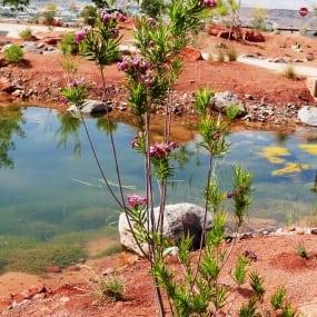 Burgandy Lace Desert Willow 2