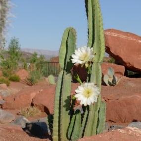 Puruvian Apple Cactus 3