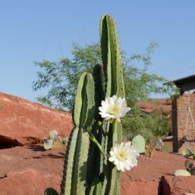 Puruvian Apple Cactus