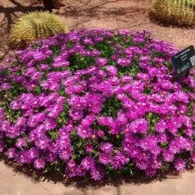 Purple Passion Iceplant
