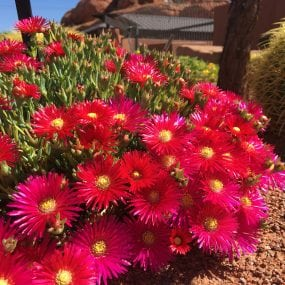 red trailing ice plant 3